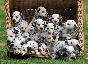 - http://www.dailymail.co.uk/news/article-2015203/Forget-101-Dalmatians-16-driving-dotty-Meet-unruly-brood-human-canine-mothers-looking-them.html