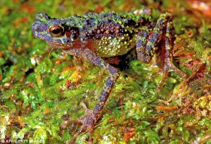 http://www.dailymail.co.uk/sciencetech/article-2014829/Elusive-rainbow-toad-photographed-colour-time-century-hiding.html