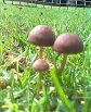 brown toadstools jn