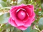 camellia 171012