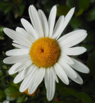 daisies in sum (11)a