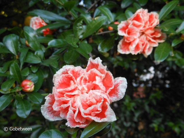 flw pomergranate (4)