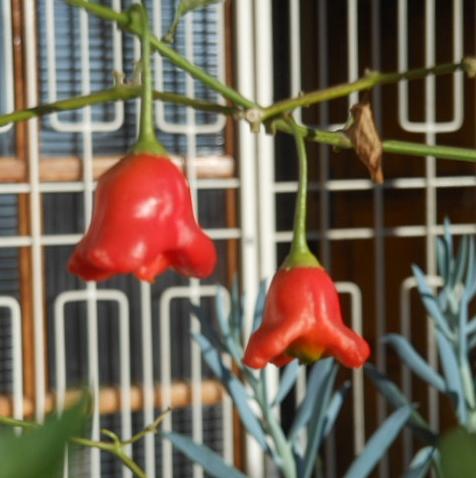 red bell fruit june 2016