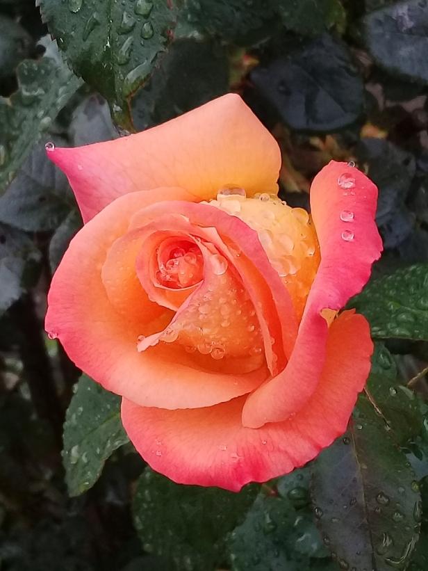 rain-rose